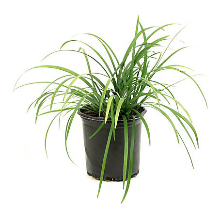 Cottage Farms Direct Liriope Big Blue 1-Piece Plant With Purpose, TSC1048