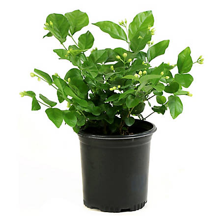 Cottage Farms Direct Jasmine Sambac Arabian 1-Piece Plant With Purpose, TSC1050