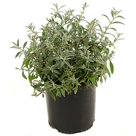 Cottage Farms Direct Buddleia 3-In-1 1-Piece Plant Royal Red, TSC1058