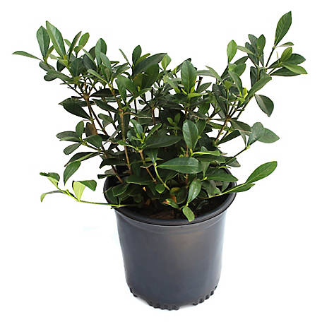 Cottage Farms Direct Gardenia August Beauty 1-Piece Plant With Purpose, TSC1061