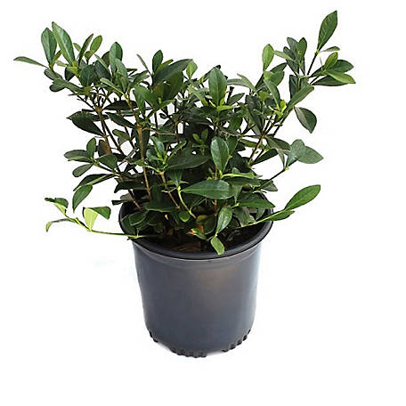 Cottage Farms Direct Gardenia Frostproof 1-Piece Plant With Purpose, TSC1062
