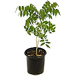 Cottage Farms Direct Wisteria White 1-Piece Plant With Purpose, TSC1071