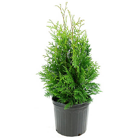 Cottage Farms Direct Arborvitae Green Giant, 1 pc. Plant, TSC5092