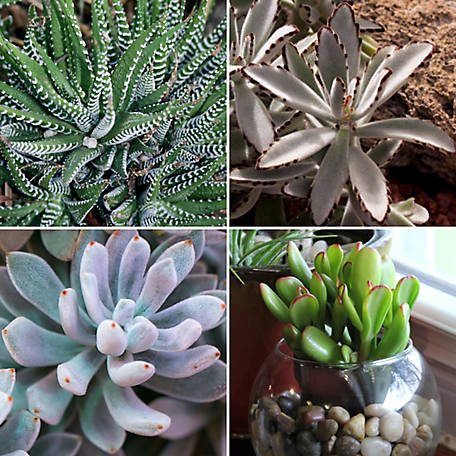 Cottage Farms Direct Succulant Color Collection 4-Piece Plant, TSC5094