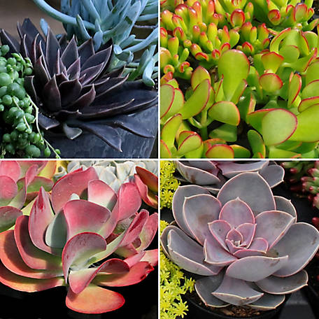 Cottage Farms Direct Succulent Collectors Edition 4-Piece Plant With Purpose, TSC5095