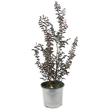 Cottage Farms Direct Black Diamond Crepe Myrtle Red Hot 1-Piece Plant, TSC5107