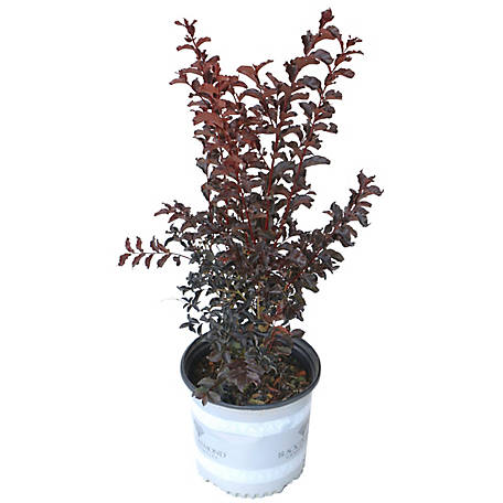 Cottage Farms Direct Black Diamond Crape Myrtle Best Red Plant, TSC5109