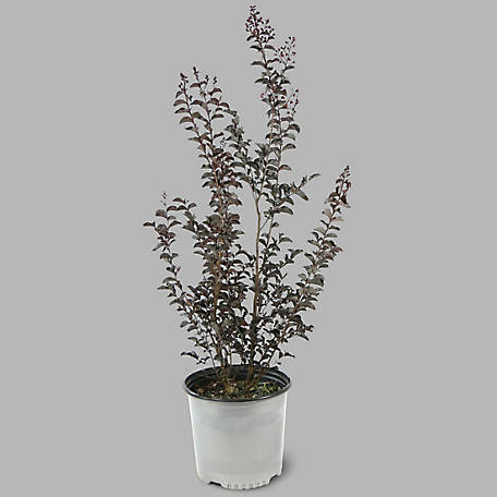 Cottage Farms Direct Black Diamond Crape Myrtle Lavender Lace, Plant with Purpose, TSC5114
