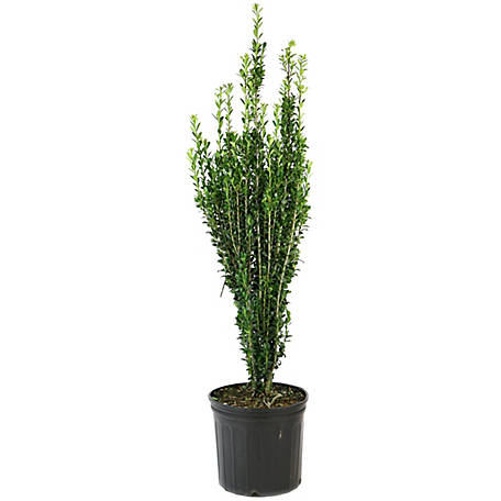 Cottage Farms Direct Holly Sky Pencil 1 Piece Plant, TSC1092