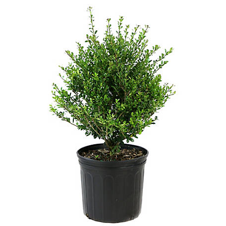 Cottage Farms Direct Holly Compacta 1 Piece Plant, TSC1094