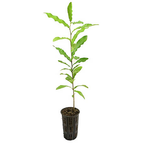 Cottage Farms Direct Sawtooth Oak 1 Piece Plant with Purpose, TSC1111