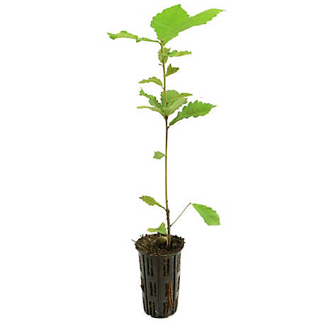 Cottage Farms Direct Swamp Chestnut Oak 1 Piece Plant with Purpose, TSC1112