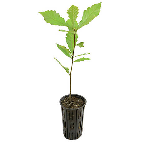 Cottage Farms Direct Swamp White Oak 1 Piece Plant with Purpose, TSC1113