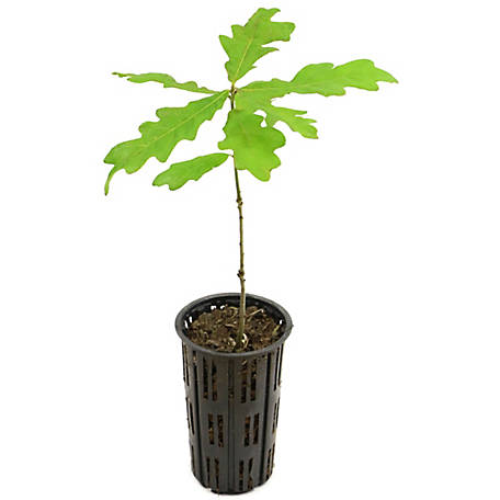 Cottage Farms Direct White Oak 1 Piece Plant with Purpose, TSC1114