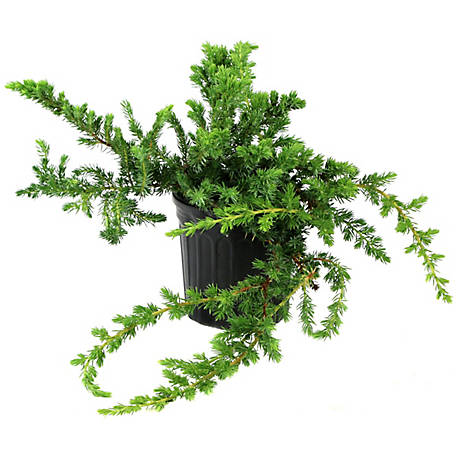 Cottage Farms Direct Juniper Blue Pacific 1-Piece Plant With Purpose, TSC5115