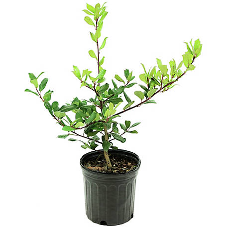 Cottage Farms Direct Holly Nellie R. Stevens 1 Piece Plant, TSC5127