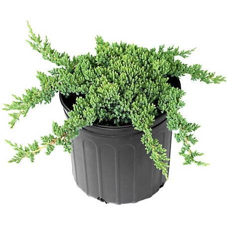 Cottage Farms Direct Juniper Procumbens Nana 1-Piece Plant With Purpose, TSC5138