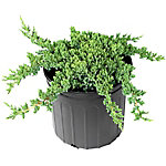 Cottage Farms Direct Juniper Procumbens Nana 1-Piece Plant With Purpose, TSC5139