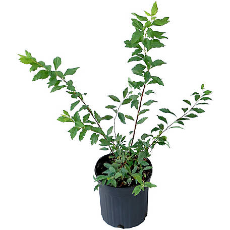Cottage Farms Direct Spirea Reeves 1-Piece Plant With Purpose, TSC5150