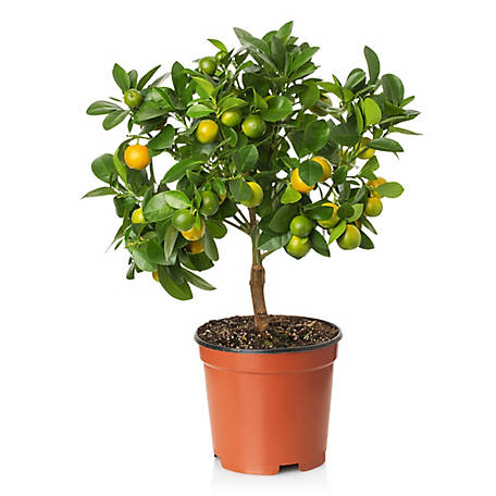 Cottage Farms Direct Lemon Meyers 1-Piece Plant With Purpose, TSC1097