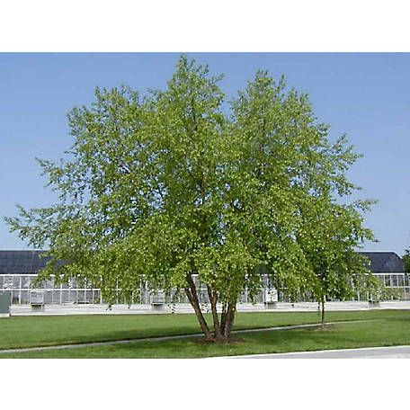 Cottage Farms Direct River Birch, 1 Piece Plant with Purpose, TSC5162