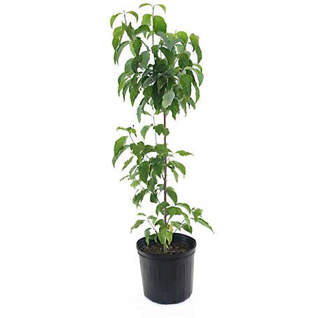 Cottage Farms Direct White Dogwood, 1 Piece Plant with Purpose, TSC5164