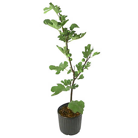 Cottage Farms Direct Brown Turkey Fig 1-Piece Plant With Purpose, TSC5165