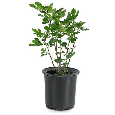 Cottage Farms Direct Celeste Fig 1-Piece Plant With Purpose, TSC5166
