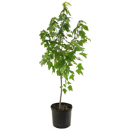 Cottage Farms Direct Red Maple, 1Piece Plant with Purpose, TSC5168