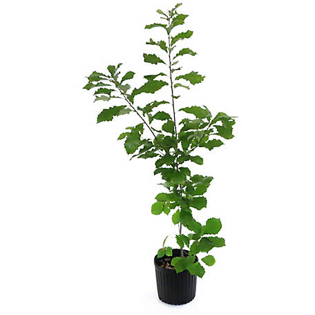 Cottage Farms Direct Chinkapin Oak, 1 Piece Plant with Purpose, TSC5169