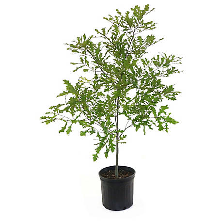 Cottage Farms Direct Compton Oak, 1 Piece Plant with Purpose, TSC5170