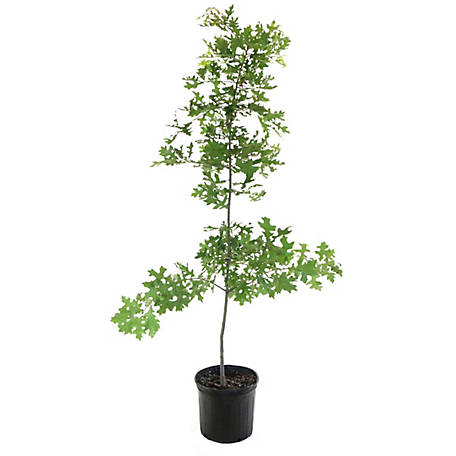 Cottage Farms Direct Pin Oak, 1 Piece Plant with Purpose, TSC5172