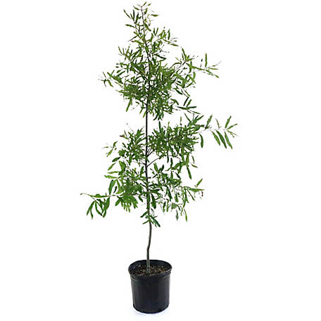 Cottage Farms Direct Willow Oak, TSC5177,1 Piece Plant with Purpose, TSC5177