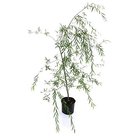 Cottage Farms Direct Weeping Williow, 1 Piece Plant with Purpose, TSC5180