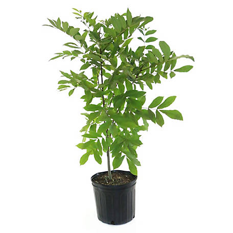 Cottage Farms Direct Native Pecan, 1 Piece Plant with Purpose, TSC5184