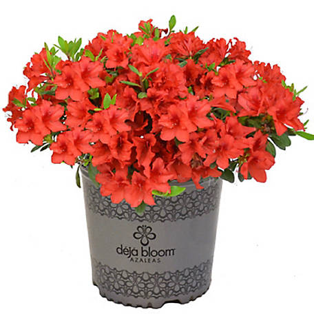 Cottage Farms Direct Red Tiara Deja Bloom Azalea 1 Piece Plant, TSC5185