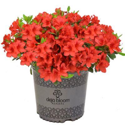 2 Gal Azalea Flowering Shrub Red Tiara