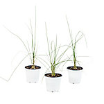 Cottage Farms Direct Grass Karl Foerster 3-Piece Plant With Purpose, TSC1103