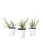 Cottage Farms Direct Lemon Grass Collection 3-Piece Plant With Purpose, TSC1104
