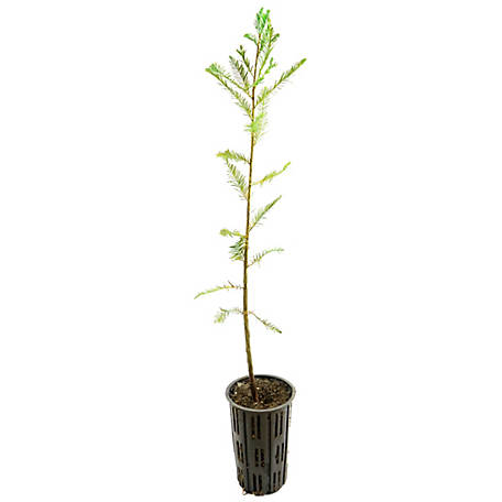 Cottage Farms Direct Bald Cypress 1-Piece Plant With Purpose, TSC1105