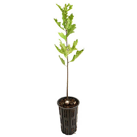 Cottage Farms Direct Nutall Oak 1-Piece Plant With Purpose, TSC1110
