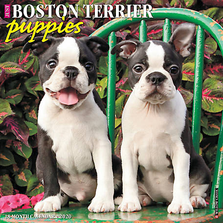 Willow Creek Press Boston Terrier Puppies 2020 Wall Calendar, 5507
