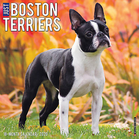 Willow Creek Press Boston Terriers 2020 Wall Calendar, 5514