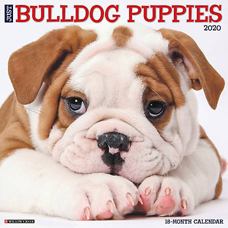Willow Creek Press Bulldog Puppies 2020 Wall Calendar, 5606