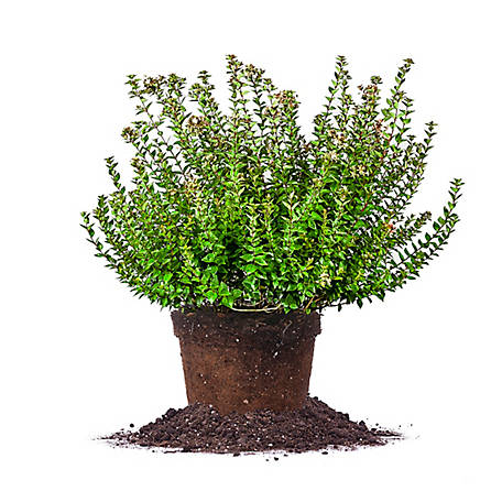 Perfect Plants Rose Creek Abelia 3 gal. Size, TSC0002