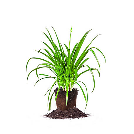 Perfect Plants Blue Agapanthus 1 gal. Size, TSC0004