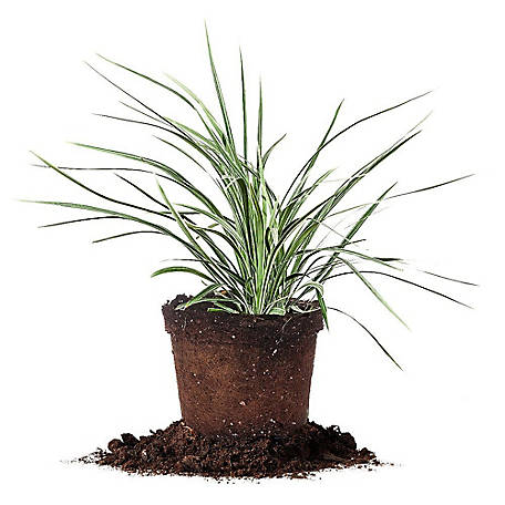 Perfect Plants Aztec Grass 1 gal. Size, TSC0009