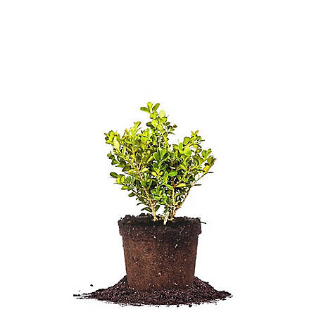 Perfect Plants Japanese Boxwood 1 gal. Size, TSC0010