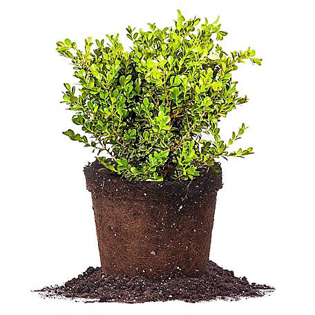 Perfect Plants Japanese Boxwood 3 gal. Size, TSC0011