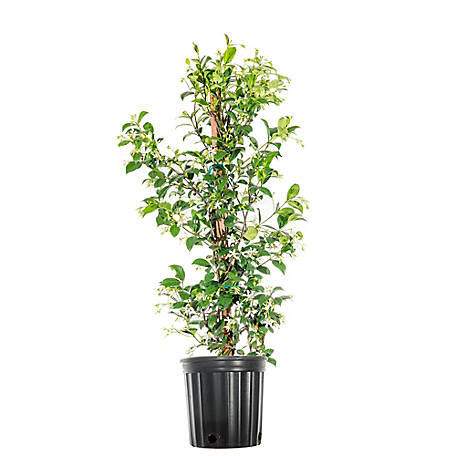 Perfect Plants Confederate Jasmine 3 gal. Size, TSC0017